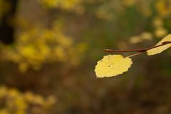 Yellow leaves. On branch in the forest. Autumn trees royalty free stock photos