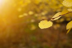Yellow leaves. On branch in the forest. Autumn trees stock photos