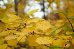 Yellow leaves. On branch in the forest. Autumn trees stock image
