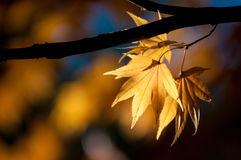 Yellow leaves on branch of maple. Royalty Free Stock Image