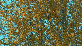 Yellow leaves on the branches of aspen tremble in the autumn wind stock footage