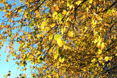 Yellow leaves on branches in autumn Stock Photography