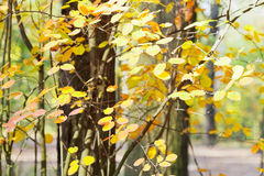 Yellow leaves on branches in autumn Royalty Free Stock Photos