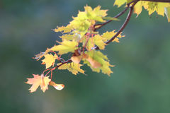 Yellow leaves at  branches Royalty Free Stock Photos