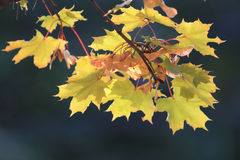 Yellow leaves at  branches Stock Image