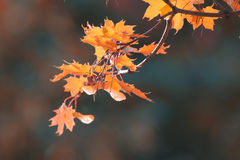 Yellow leaves at  branches Royalty Free Stock Image
