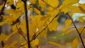 Yellow leaves on the branches of trees in autumn nature landscape. Yellow leaves on branches of trees in autumn nature landscape stock video footage