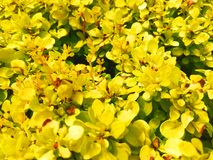 Yellow leaves bush photo stock photo