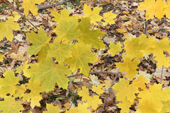 Yellow leaves of the Canadian maple against  of the fallen foliage Royalty Free Stock Photo