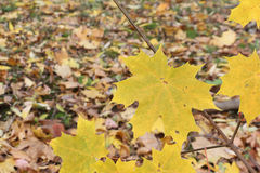 Yellow leaves of the Canadian maple against of the fallen foliage Stock Images