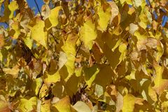 Yellow leaves of cercis canadensis in autumn. Yellow leaves of the cercis canadensis in autumn Stock Photography