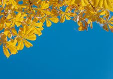 Yellow leaves of a chestnut stock photo