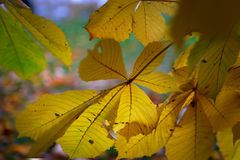 Yellow leaves of chestnut tree Royalty Free Stock Photo