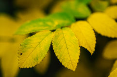 Yellow leaves close up. Royalty Free Stock Photography