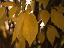 Yellow leaves close-up macro texture bokeh background outdoor autumn. Yellow leaves close-up macro texture abstract bokeh background outdoor stock photography
