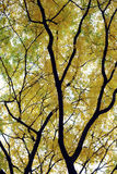 Yellow leaves cover the sky in Autumn. Yellow foliage leaves cover the sky in Autumn Royalty Free Stock Image