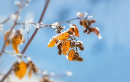 Yellow leaves covered with hoarfrost, against the blue sky. Autumn yellow leaves covered with hoarfrost, against a blue sky on a sunny day Stock Image