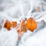 Yellow leaves covered with hoarfrost Stock Images