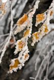 Yellow leaves  covered with snow Royalty Free Stock Images