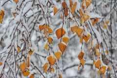 Yellow leaves covered with snowing in the park. First snow Stock Photography