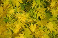 Yellow leaves covering the whole screen Stock Image