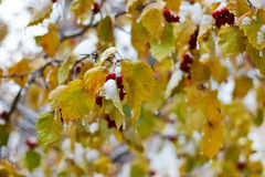 Yellow leaves encased in coating of ice Stock Photos