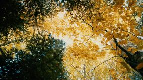 Yellow Leaves Fall in the Autumn Wood. Yellow Leaves Fall in the Beautiful Autumn Wood in Slow Motion. Shot with a Sony NEX 700 – 1920×1080, 50fps stock video