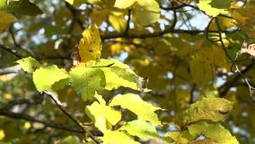 Yellow Leaves Fall in the Beautiful Autumn Wood. In Slow Motion stock footage