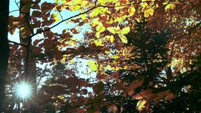 Yellow Leaves Fall in the Beautiful Autumn Wood. In Slow Motion. Shot with a Sony NEX 700 – 1920×1080, 50fps stock video