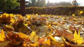 Yellow leaves fall to the ground in the autumn. Carpet of yellow leaves on the ground longer, which in slow motion leaves fall from the trees. Slow motion stock video footage
