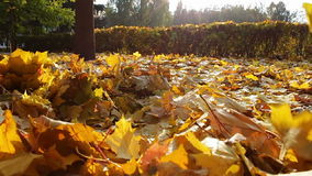 Yellow leaves fall to the ground in the autumn. Carpet of yellow leaves on the ground longer, which in slow motion leaves fall from the trees. Slow motion stock footage