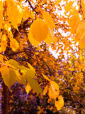 Yellow leaves fall from the trees. In autumn Royalty Free Stock Photos