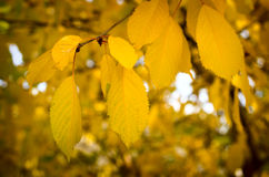 Yellow leaves fall from the trees. In autumn Stock Photography