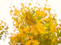 Yellow leaves fall from the trees. Autumn. Autumn. Yellow leaves fall from the trees stock video