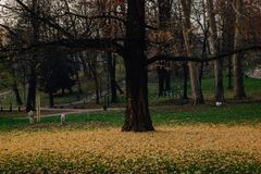 Yellow leaves fallen from a tree royalty free stock photos