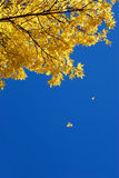 Yellow leaves falling Royalty Free Stock Photo