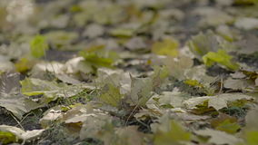 Yellow leaves falling from trees on a sunny autumn day.  stock video footage