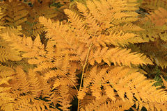 Fern Leaf. Yellow leaves of a fern, close-up Royalty Free Stock Photography