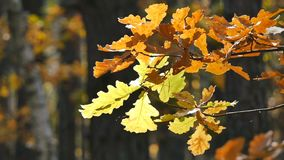Yellow leaves in the forest. Camera slide from right to left. Close-up. stock video footage