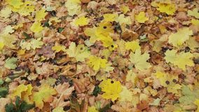 Yellow leaves in the forest with nature sounds. Yellow leaves in the forest autumn with nature sounds stock video