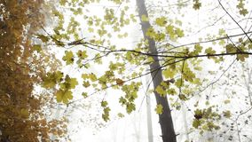 Yellow leaves in the forest with nature sounds. Yellow leaves in the fogy forest autumn with nature sounds stock video