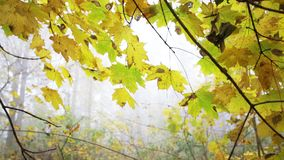 Yellow leaves in the forest with nature sounds. Yellow leaves in the fogy forest autumn with nature sounds stock footage