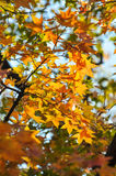 Yellow leaves in Fragrance Hills Royalty Free Stock Photo
