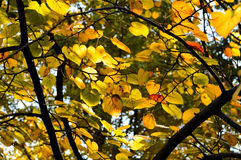 Yellow leaves in Fragrance Hills Stock Photo