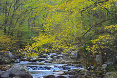 Yellow leaves frame a small mountain stream. Royalty Free Stock Photography