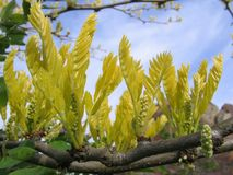 Yellow leaves. Fresh little yellow leaves in spring Stock Photo