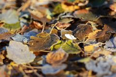 Yellow leaves in frost , autumn in the forest . the beginning of winter Stock Photos
