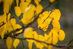 Yellow leaves in the garden. At autumn royalty free stock image