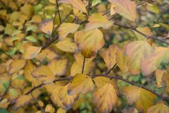 Yellow leaves of germander meadowsweet in autumn. Yellow leaves of germander meadowsweet in late autumn Royalty Free Stock Photos