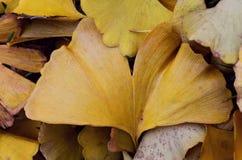 Yellow leaves of Gingko biloba tree Royalty Free Stock Photos